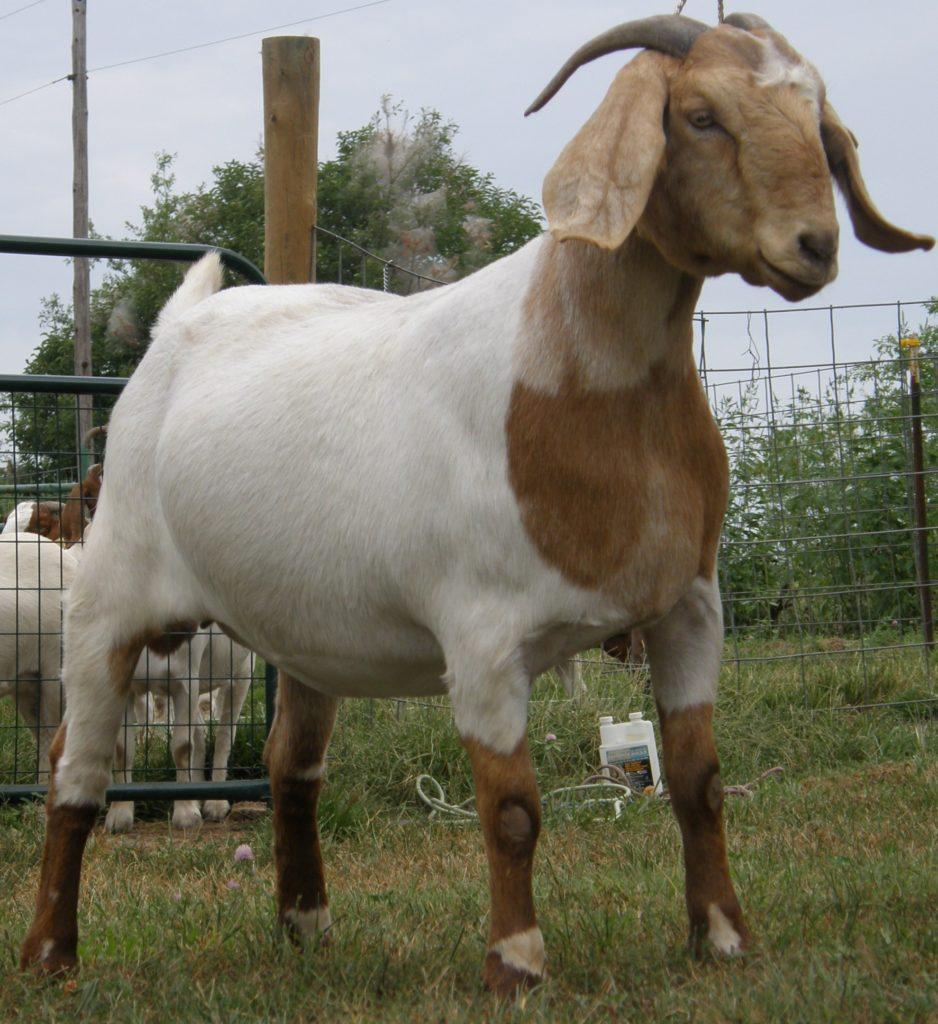 Некоторые мясные породы коз