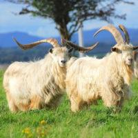 29499 Как повысить молочную продуктивность коз?