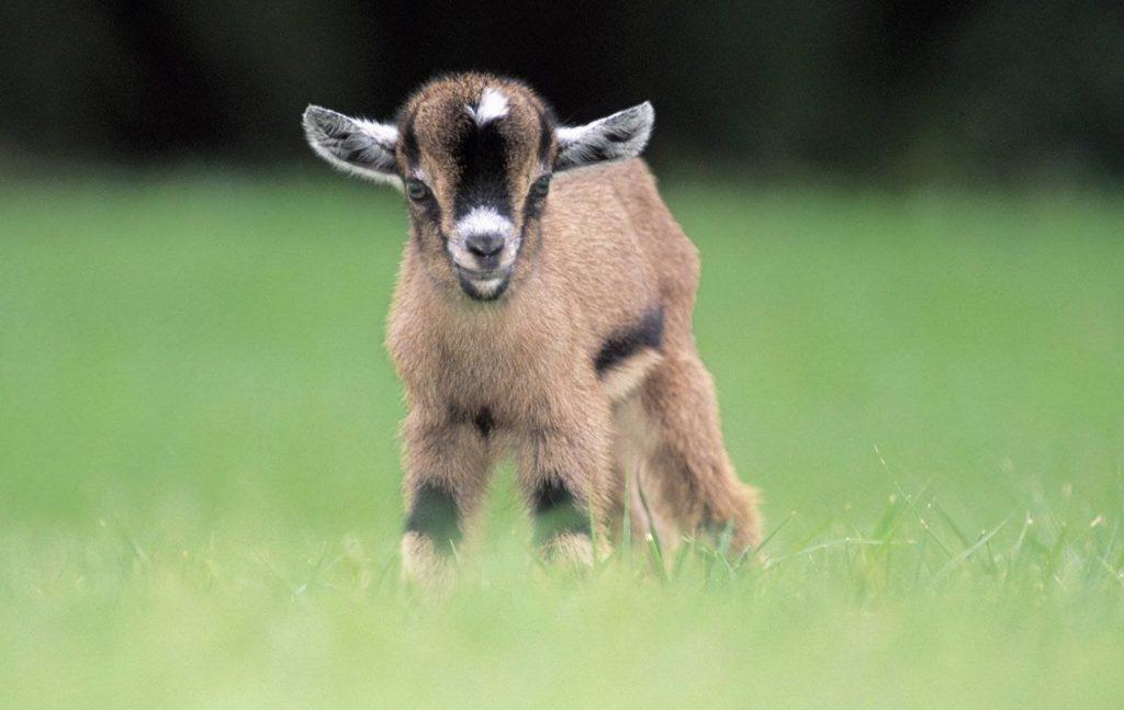 Как повысить молочную продуктивность коз?