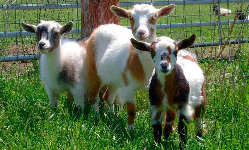 Особенности случки коз фото - 22461