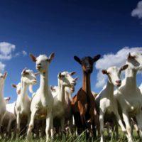 Особенности случки коз фото - 22462 200x200