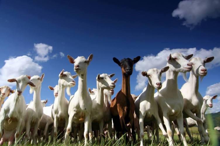 Особенности случки коз