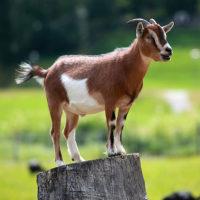 29505 Преимущества разведения коз