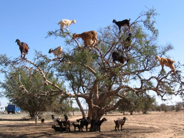 Преимущества разведения коз фото - 22464
