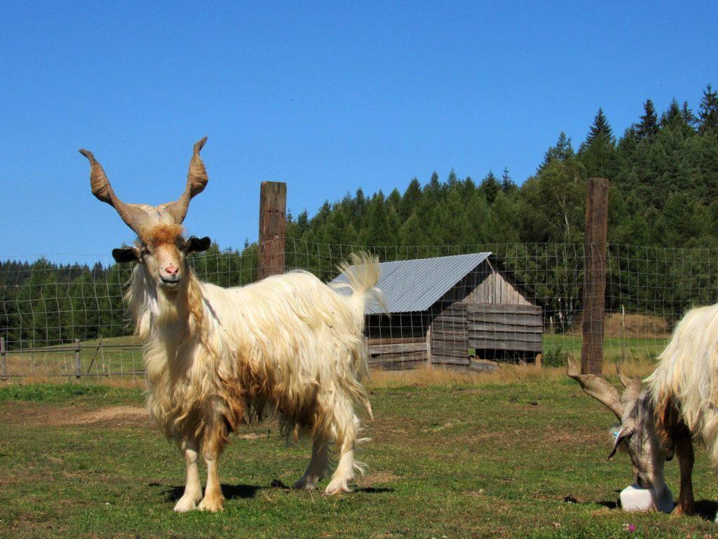 29510 Условия содержания коз