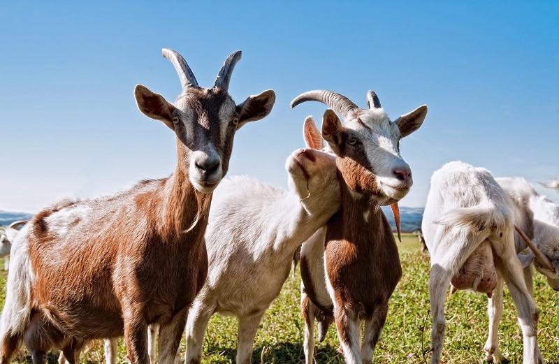 Доение коз: как правильно доить козу? фото - 22796