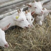 29588 Основные нормы кормления коз