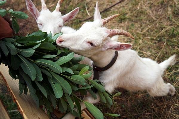 Основные нормы кормления коз фото - 22799