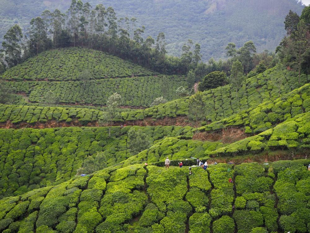 Индийская чайная тропа