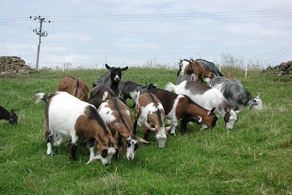 Способы и организация стрижки коз фото - 25221