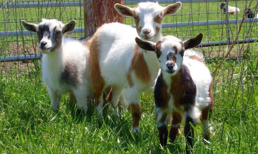 Способы и организация стрижки коз фото - 25223