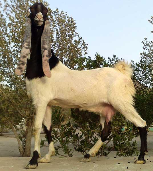 Способы и организация стрижки коз