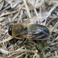 29949 Кто такие пчелы трутни? Их функции в семье