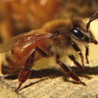 29954 Сколько живет медоносная пчела?