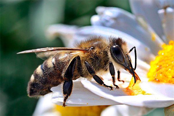 Сколько живет медоносная пчела?