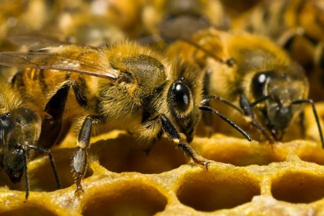 Состав пчелиной семьи фото - 25902