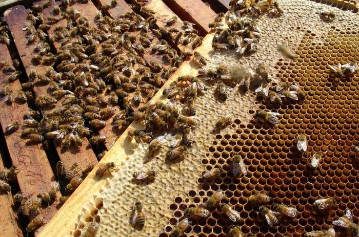 Состав пчелиной семьи фото - 25903