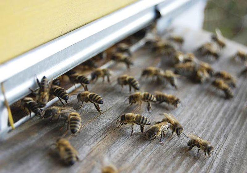 Лечение грыж пчелиным ядом фото - 25906