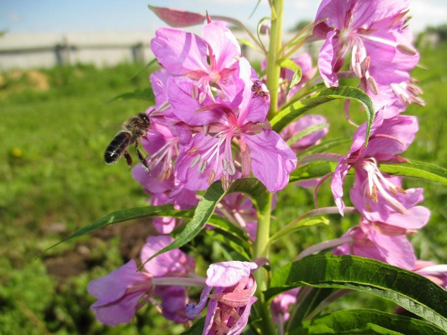 Какие растения любят опылять пчелы? фото - 25912