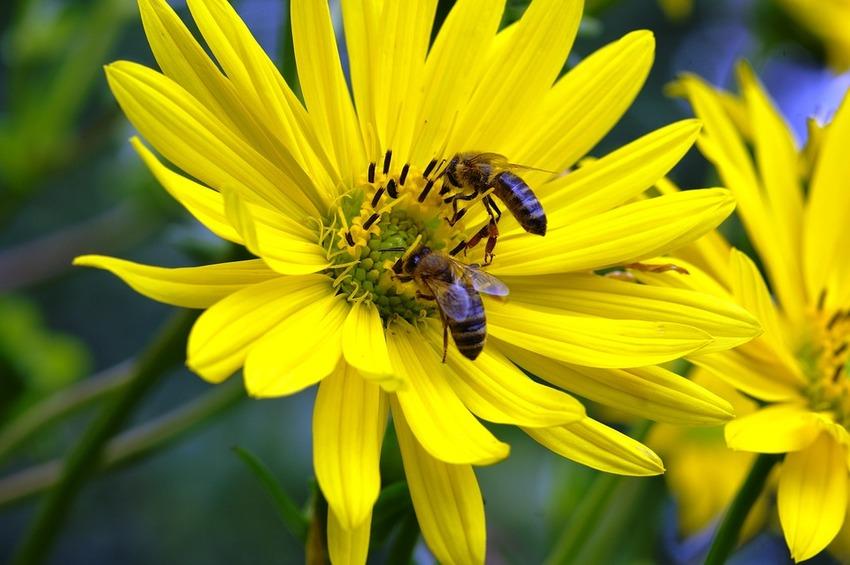 Какие растения любят опылять пчелы?