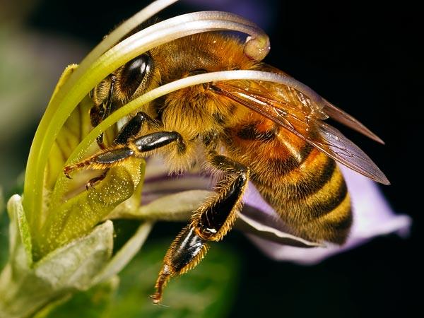 Какие растения любят опылять пчелы? фото - 25914
