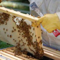 Как устроены пчелы: сколько глаз, крыльев, желудков, ног фото - 26170 200x200