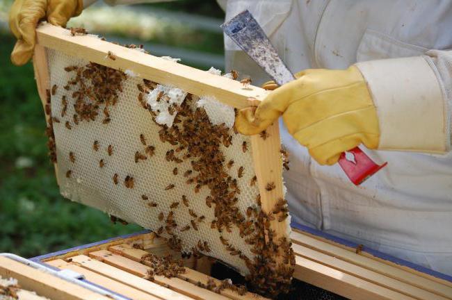 Как устроены пчелы: сколько глаз, крыльев, желудков, ног