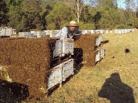 Как устроены пчелы: сколько глаз, крыльев, желудков, ног фото - 26173