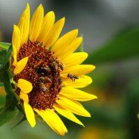 Первая помощь при укусе пчелы фото - 26178 200x200