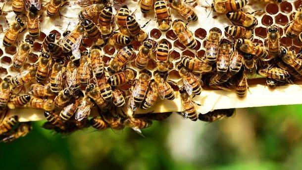 Первая помощь при укусе пчелы фото - 26179