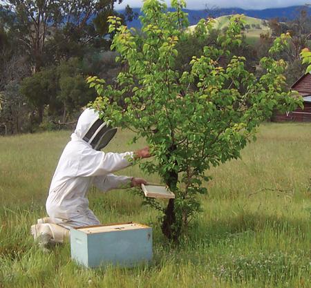 Как и когда обрабатывать пчел бипином фото - 26180