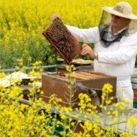 Как и когда обрабатывать пчел бипином фото - 26182 200x200