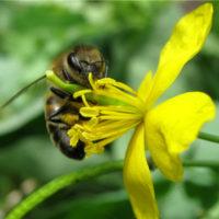 Лечение пчел чистотелом фото - 26184 200x200