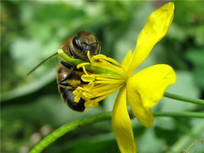 30040 Лечение пчел чистотелом