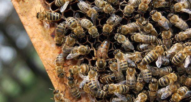 Лечение пчел чистотелом фото - 26187