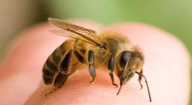 Лечим пчел тимолом