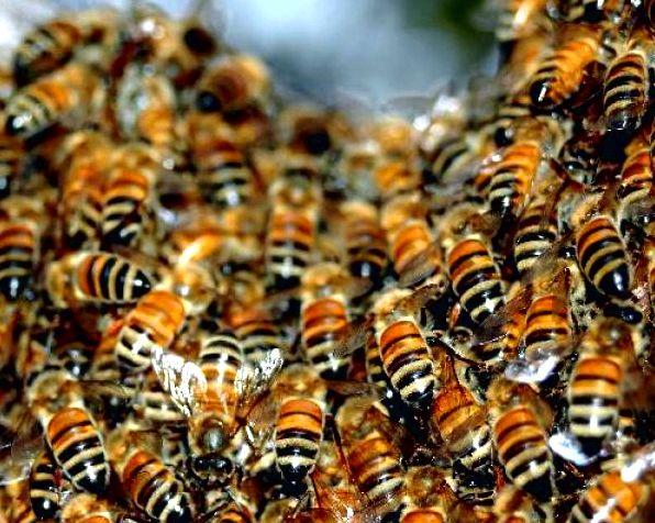 Тайная жизнь пчел фото - 26504