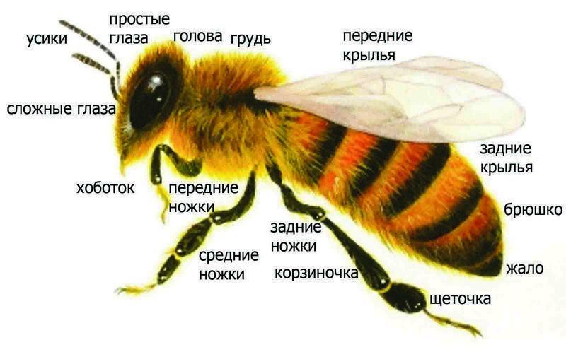 Строение медоносной пчелы фото - 26510