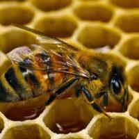 30079 Признаки болезней пчел
