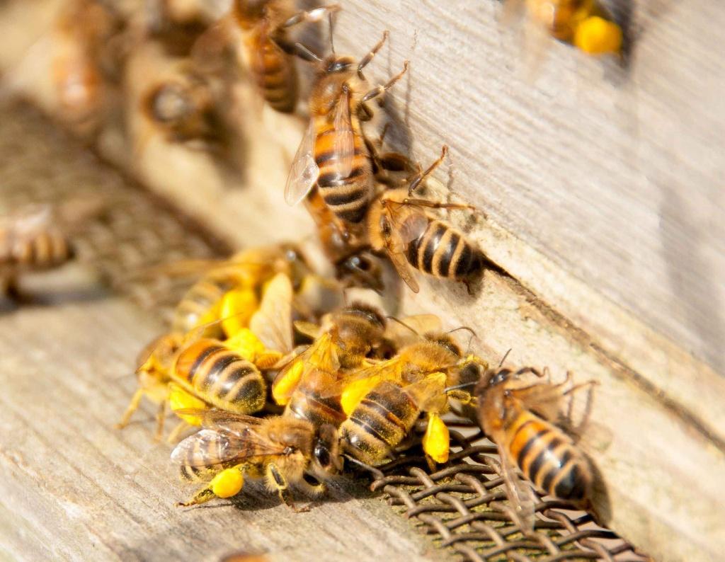 Признаки болезней пчел