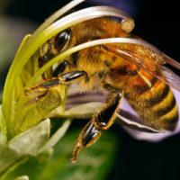 30116 Рабочие пчелы : от рождения до старости