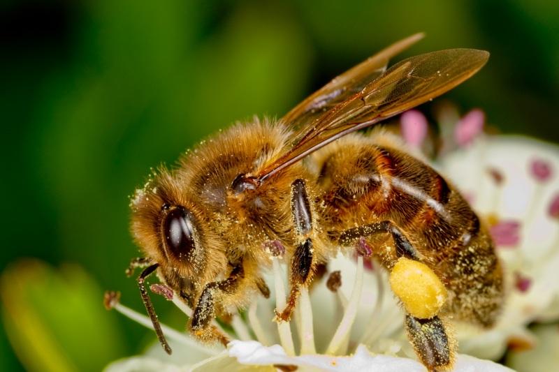 Рабочие пчелы : от рождения до старости