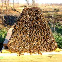 Чем лечить пчел или вовсе не лечить? фото - 26951 200x200