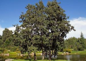 30097 Декоративные и полезные деревья: ольха, лох индийский, живое дерево