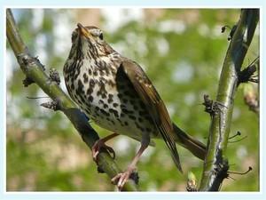 птица кукушка