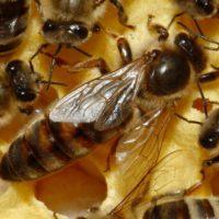 Вывод пчелиных маток фото - 27510 200x200