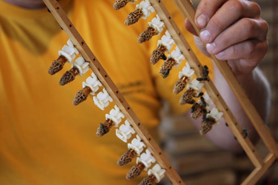 Вывод пчелиных маток фото - 27511