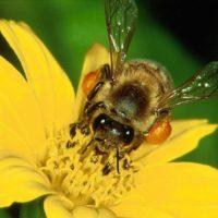 Болезни у пчел и их профилактика фото - 27517 200x200