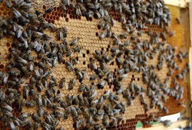 Болезни у пчел и их профилактика фото - 27524