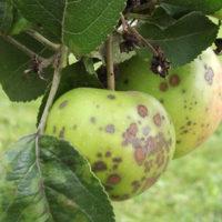 30239 Яблоки покрылись коркой, или защищаемся от парши с весны